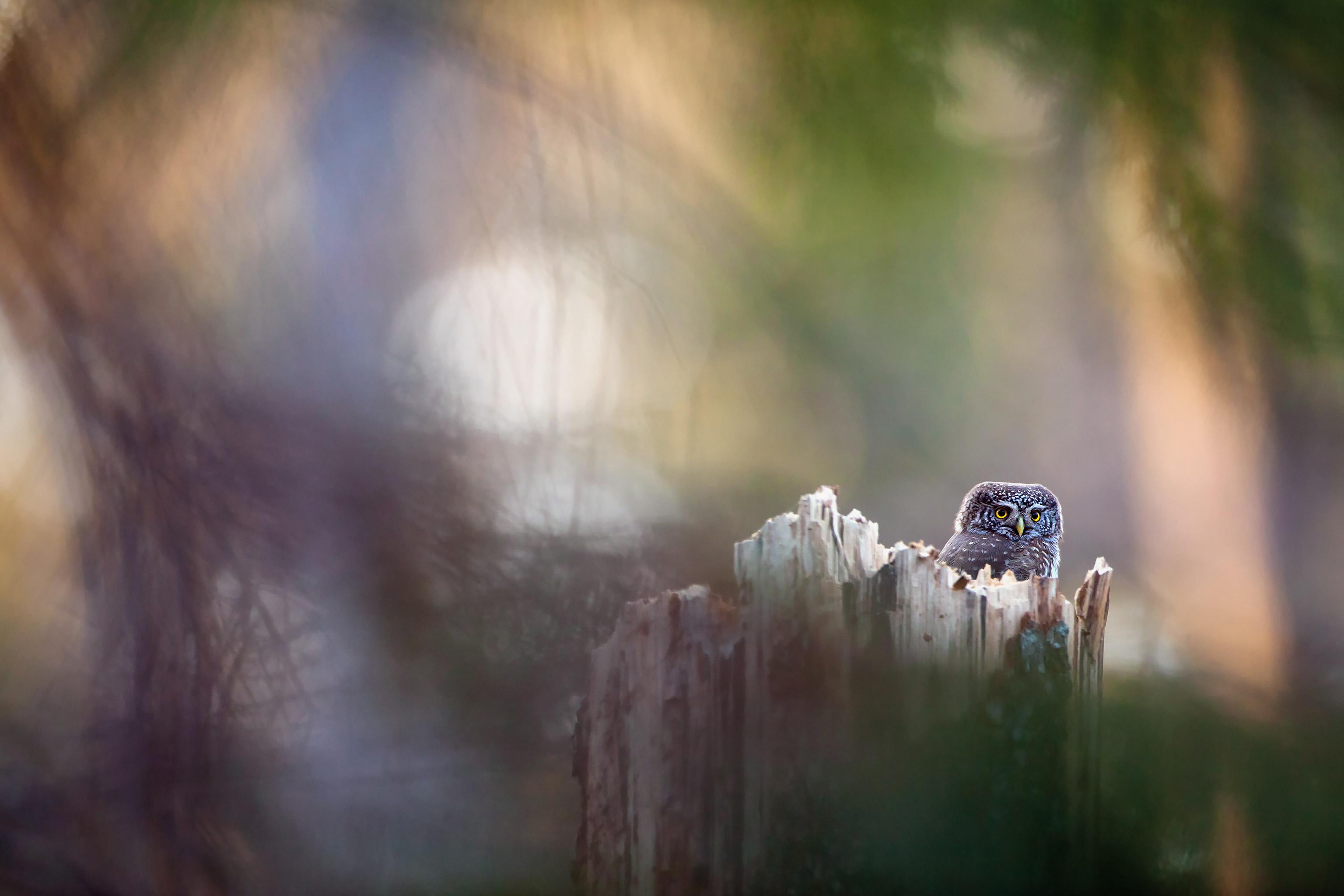 Pygmy Owl by Krzysztof Onikijuk